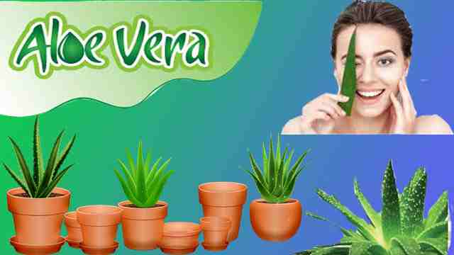 use of aloevera in hindi-एलोवेरा का उपयोग हिंदी में,जाने एलो वेरा के fayde और nuksan,aloe vera juice kaise banaye in hindi,एलोवेरा joint pain के लिए