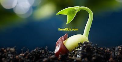 Tanaman kacang hijau sedang tumbuh