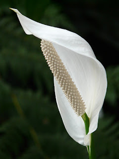 The Ultimate Guide Of Peace Lily care