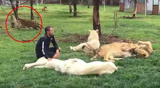, See moment Tiger saves zoo keeper from charging Leopard, Latest Nigeria News, Daily Devotionals & Celebrity Gossips - Chidispalace