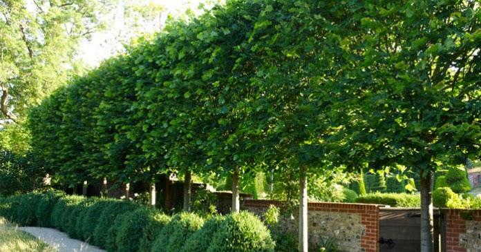Frans Fontaine European Hornbeam Trees Planned For Privacy
