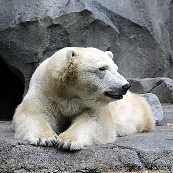 Polar bear lying on a rock