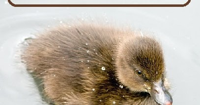 Ducklings! Everything you need to get started raising them