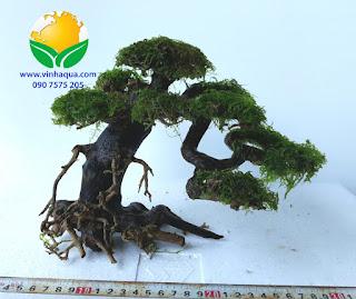 Lũa bonsai thủy sinh cấy rêu weeping