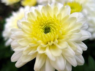 Chrysanthemum inodorum