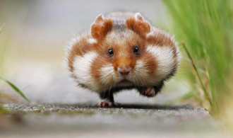 5 Fakta Unik Hamster, Si Imut yang Lucu dan Menggemaskan