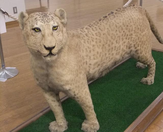 Leopon Hybride between Leopard & Lion