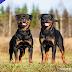 7 Curiosidades sobre los perros Rottweilers