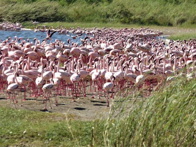 fenicotteri lago serengeti