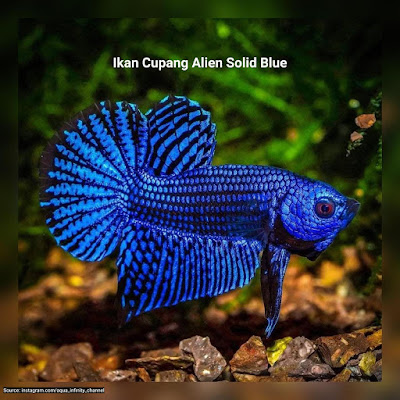 Ikan Cupang Alien Solid Blue