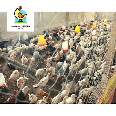 ayam kampung goreng