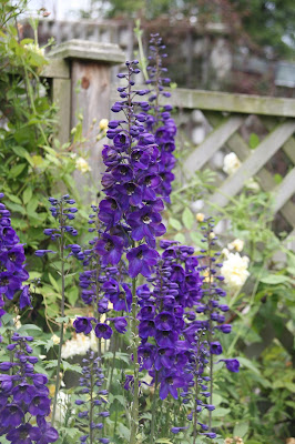 Delphinium Black Knight Pacific Giants from Seed