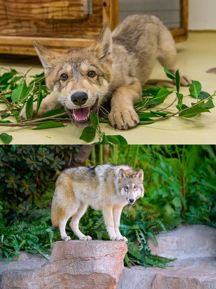 san diego zoo wolf