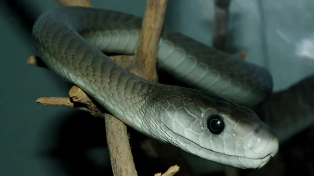 Top 10 Deadliest Snakes in the World, The Black Mamba