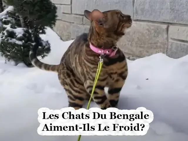 Les Chats Du Bengal Aiment-Ils Le Froid?