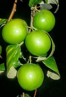 85+ Gambar Pohon Buah Apel India HD