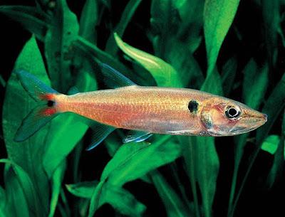 Habitat & Karakteristik Red Tail Barracuda