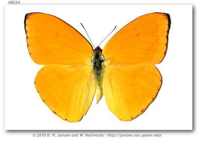 Mariposa yema (Phoebis argante)