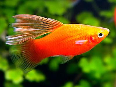 Ikan Platy Simpson