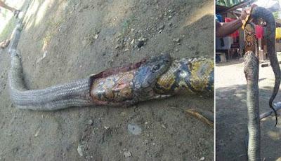 Ular king kobra dan piton mati