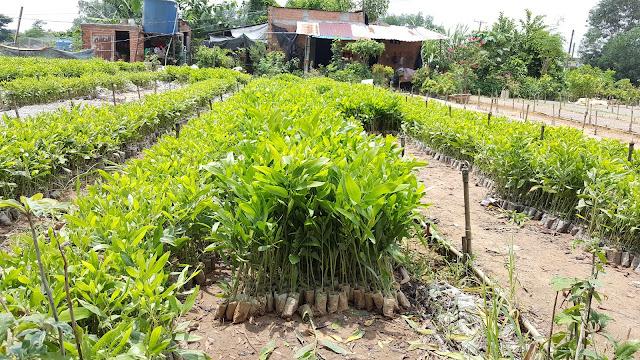 Tràm Lá Keo hay còn gọi là Tràm Tai Tượng, loại sẽ được trồng ở Làng Trường Thọ