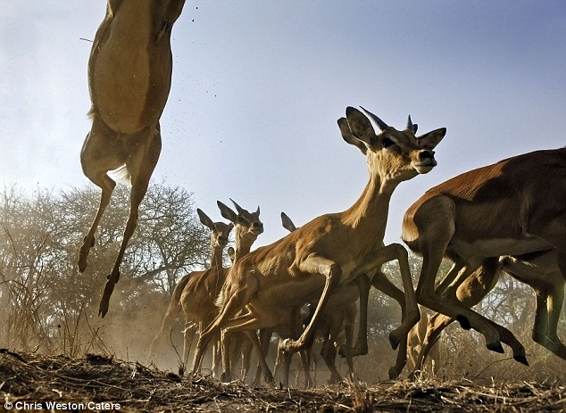 In The Heart Of A Stampede Amazing Images Capture Herds
