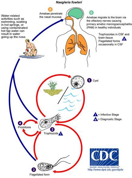 Proses amoeba masuk ke dalam tubuh manusia
