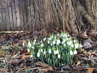 White snowdrops bloom against a background of dead leaves