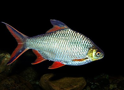 Ikan Yang Tidak Mudah Mati Lovedfish