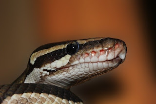 The Njaba python became angry as it is ready to avenge