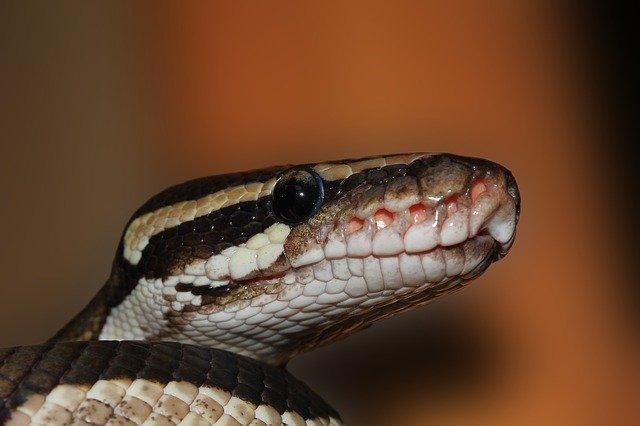 The anger of Njaba python