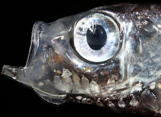 Laporan Penelitian Maurolicus muelleri Mengadaptasi Sel Batang dan Kerucut