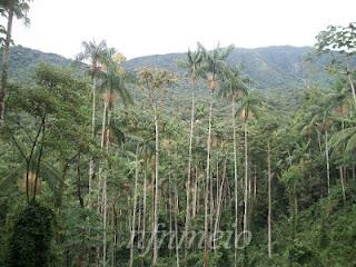 Palmeira-juçara-na-floresta