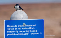 This Tree Swallow is asking for protection – PEI National Park, PEI – May 20, 2017 – by Matt Beardsley