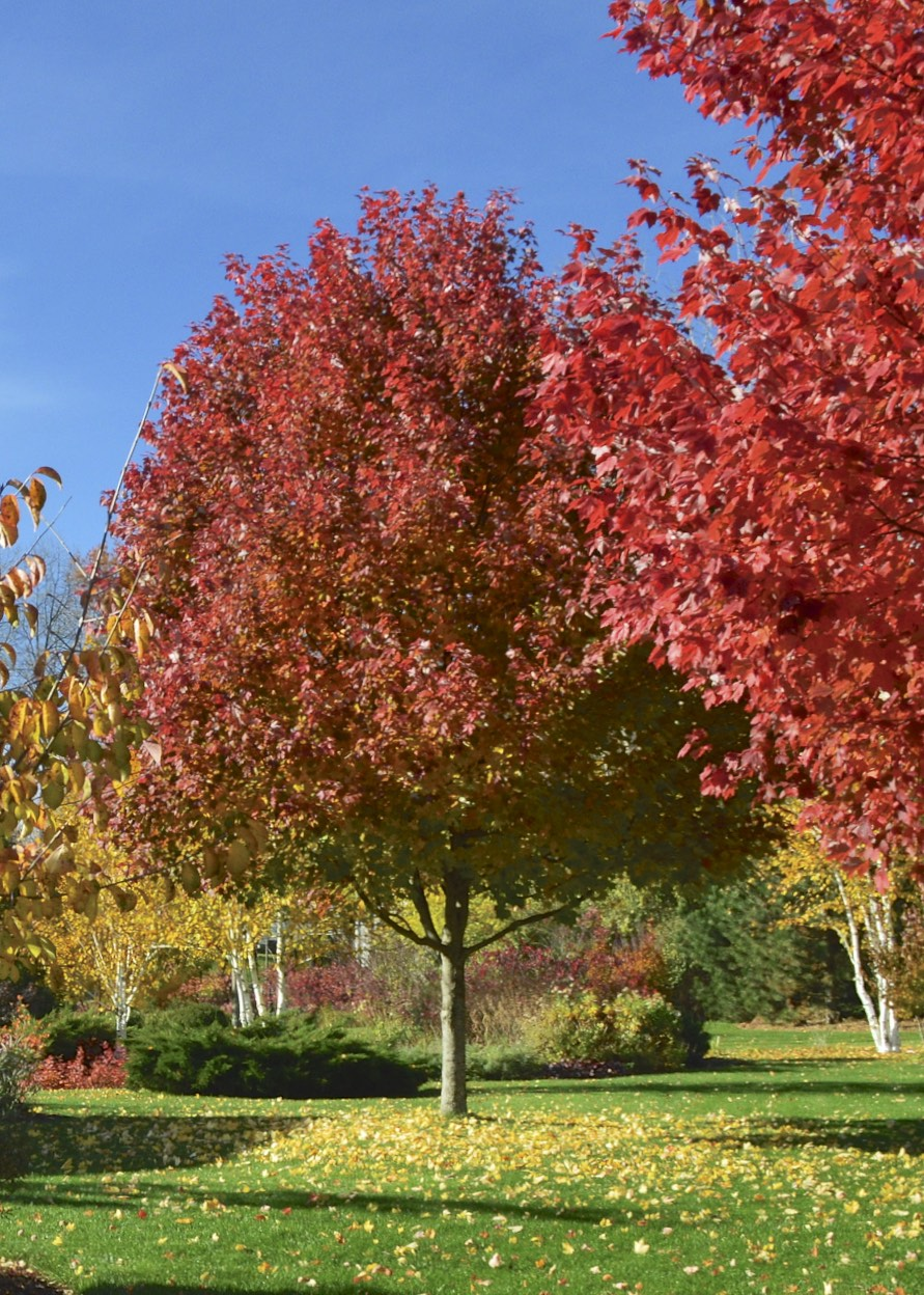Plant Inventory At 20 Timothy Acer Rubrum Red Maple