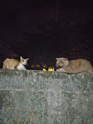 Merawat kucing pasca steril