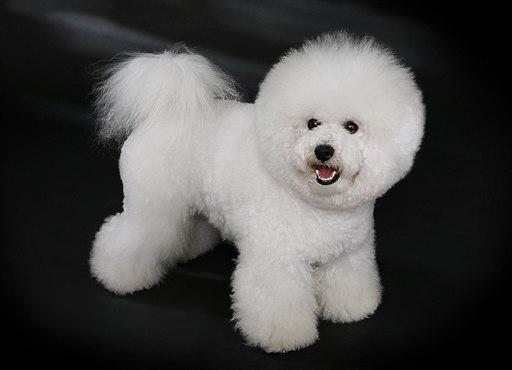 كلب بيشون فريز