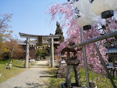 【交野市】機物神社(はたものじんじゃ)の枝垂桜