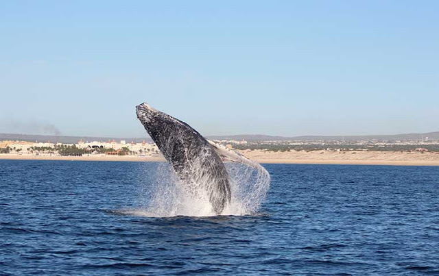 Cabo Whale Watching Tour
