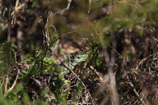 LEZARD VERT (Lacerta bilineata) femelle Fontainebleau (C) 2016 Greg Clouzeau