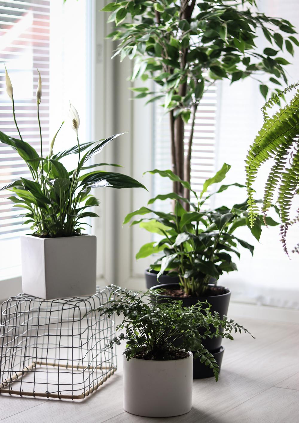 Sisäilmaa Puhdistavat Kasvit