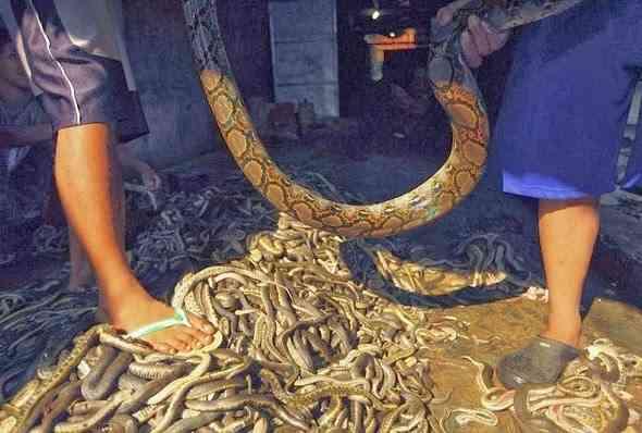 snakes-slaughterhouse-مسلخ-الثعابين-الافاعي-اندونيسيا