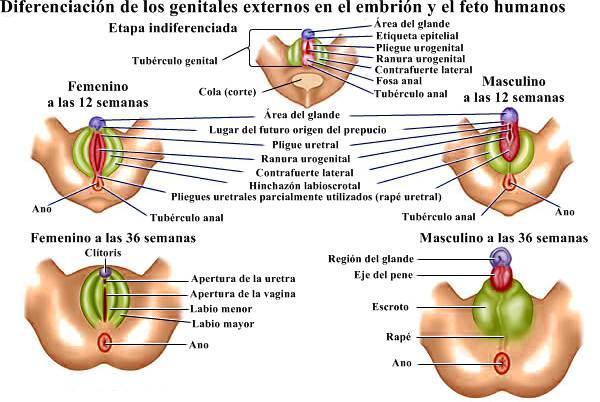Sistema reproductivo humano: diferenciación en genitales externos en embrión y feto humanos