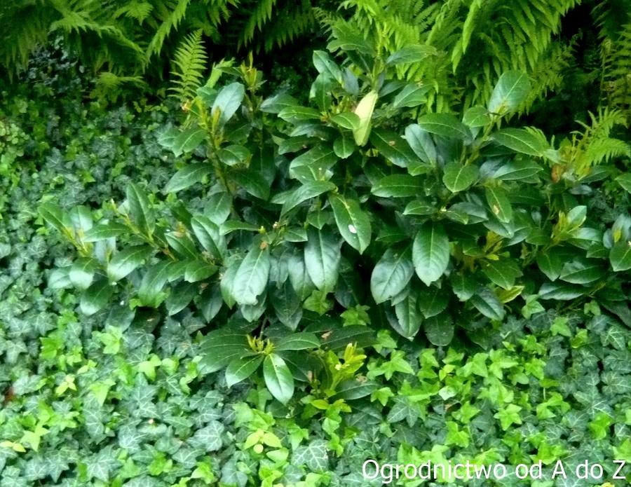 Hedera helix- roślina okrywowa
