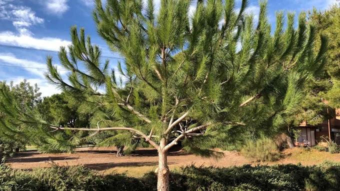 Pinus Nelsonii