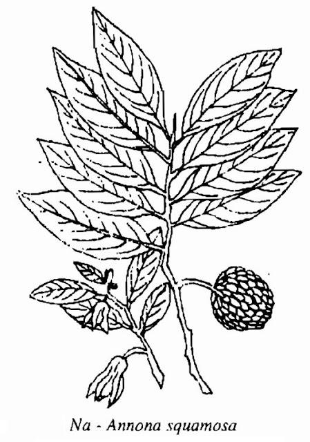 Hình vẽ Na - Annona squamosa - Nguyên liệu làm thuốc Chữa Cảm Sốt