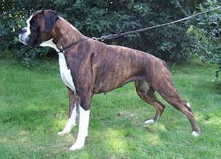 كلب البوكسر او الملاكم
