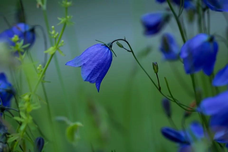 flores azules de campinallas