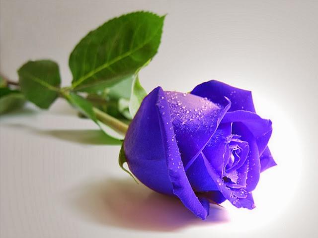 Truyện ngắn: Hoa hồng xanh (Chap 4)