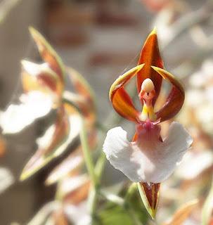 Balerin Orkidesi